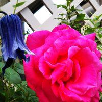 庭の🌹 マリア・カラス まだまだ咲きます🎵
