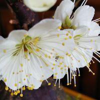 盆栽の白梅 開花🎵ここだけもう春です🤗