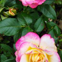 庭の🌹 メヌエット 何とも愛らしいその姿❤️