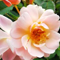 庭の🌹フェリシア サーモンピンクの可愛...
