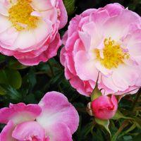 庭の🌹ストロベリーダイキリ 2番花も元気❤️