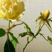 何と開花後38日が経過した黄色い『ミ...