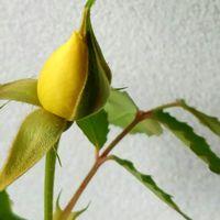 マイペースで成長中の黄色い『ミニバラ🌹...