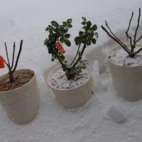 🌹バラ 今年はバラ栽培に力を入れます。 ...