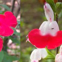 チェリーセージの名前が一般的です。花...