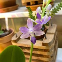 Phal. Summer Rose 'Blue Star' ファレ...