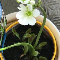 去年もらったハエトリグサ。 花が咲くと...