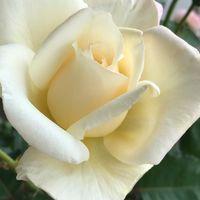 バラのホワイトクリスマス。 2番花だけ...