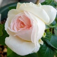 ボレロ。 オリビアと並んで早咲きのバラ...