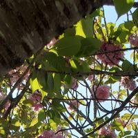 公園の八重桜も終わりになってきました。