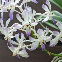 ルースネアリーの花のアップ💓
