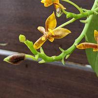 マンセビ 3月から咲き続け少し花数は減...