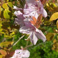 トキワバイカツツジの花です。愛媛県の...