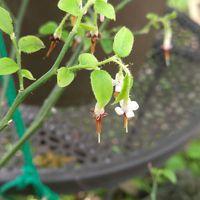 ツツジ科のアクシバです。花の形がユニ...