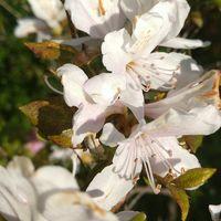サクラツツジの花です。優しい淡いピン...