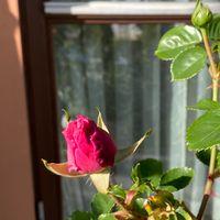 4月19日 羽衣も間もなく開花❗️