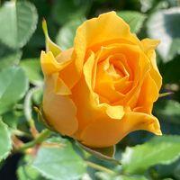 母の育てた薔薇、今年も咲き始めました!