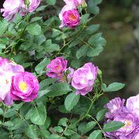 ブルーフォーユー、2番花です。