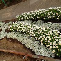 娘が去年植えた学校の花壇😊 ノースポー...