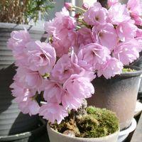 4/18「旭山桜」一気に開花しました。満...