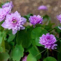 濃色八重咲きバイカカラマツ