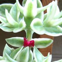 家で育てている多肉植物にお花が咲いて...