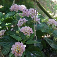 🏠一昨日の庭のお花たち・・🌼🌳 ランタナ...