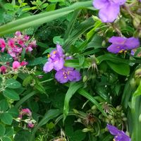 ツユクサと萩の花の共演