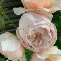 Ambriage Rose / アンブリッジ・ローズ
