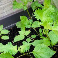 大葉🍀 種蒔きからようやく収穫サイズに...