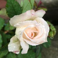 朝の花束 7 「名残りの二番花たち」  雨...