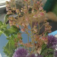ハーブとヒューケラの花を食卓に飾った ...