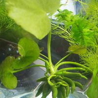 バナナプランツ  水生植物
