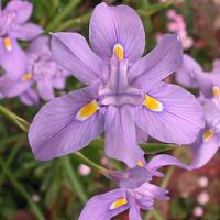 モラエアの花