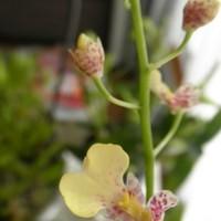 イオノシジウム'はるり'開花。咲きすす...