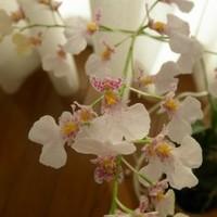 イオノシジウム'はるり'。咲きすすんで...
