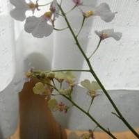 イオノシジウム'はるり'最後の花茎も開...