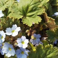 今日のシネンシス 日に日にお花は増えて...