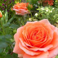 ニューマリナ・・薔薇似たような花色が...