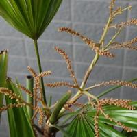 観音竹の花が咲きました。 20~30年に一...