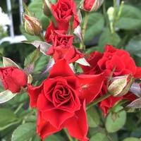 バレッタの3番花 夏は花が小さくなります。