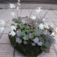 変わり咲きの大文字草です。今年も軽石...