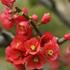 木に咲く花・・・木瓜