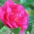 木に咲く花・・・サザンカ