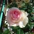 我が家のバラ達