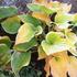 ホスタ(ギボウシ)、サガエも黄葉