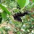 ロブスターモス (幼虫画像あり)