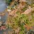 もみじの葉が枯れてきた