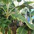 私の栽培果樹