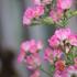 こんにちは! 2018年5月気候も良くなりました。咲いたMini薔薇ドンドン出してくださいね